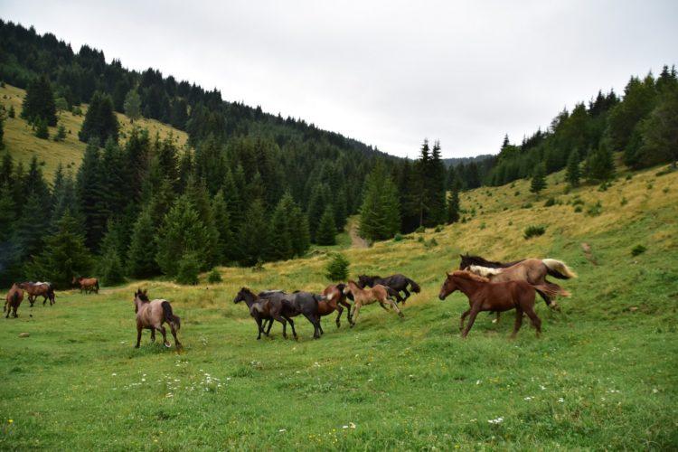 Offroad in den Ostkarpaten, Siebenbürgen, Rumänien: wilde Pferde