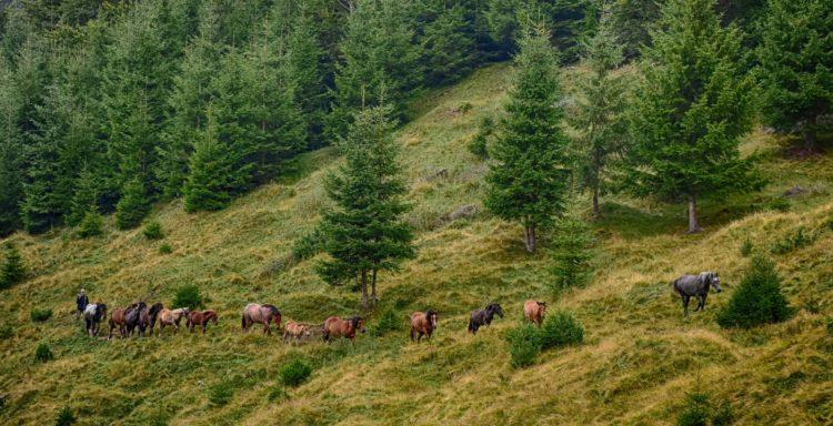 Offroad in den Ostkarpaten, Siebenbürgen, Rumänien: ein Hirte mit seiner Pferdeherde